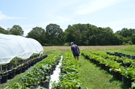 Dreyfors examines the vegetables growing at the park in Efland. He has also started a CSA in hopes of generating additional revenue.